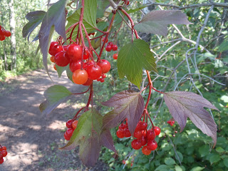 Highbush cranberries in the Edmonton river valley