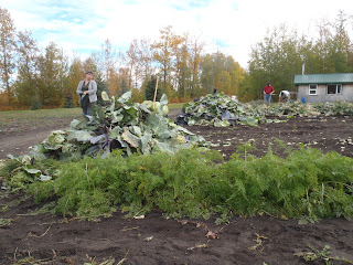 Large piles of cabbage leaves which will be fed to the pigs