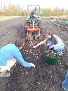 Dragging the potato digger to unearth potatoes