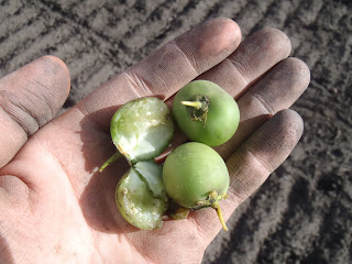 The fruit of the potato plant