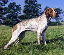 FRENCH POINTING DOG GASCOGNE TYPE