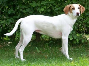 ISTRIAN SHORT-HAIRED SCENT HOUND