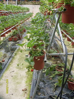 Big_Red_Strawberry_Farm