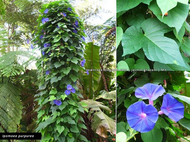 The world is just awesome ipomoea purpurea for Ipomea purpurea