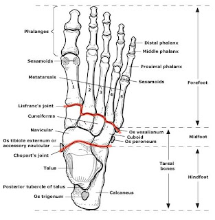 plane joint injuries with Hallux Valgus Deformity Bunion on Equine Nerve Joint Blocks in addition 5949505 likewise Tibial Plateau Fracture in addition Hallux Valgus Deformity Bunion additionally Printarticle.