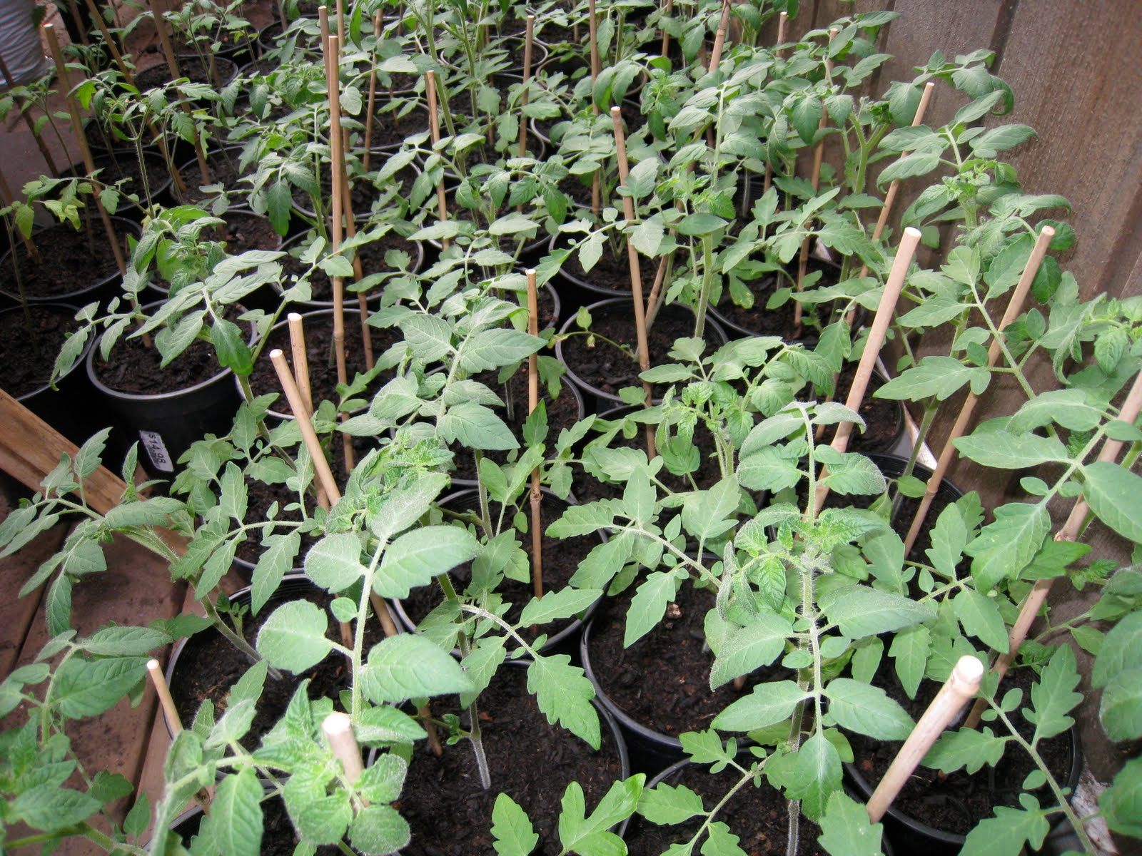 How much to water tomatoes in containers - I Grow Them In Hanging Baskets In My Glass Greenhouse And In Containers Outside Around My Garden This Year I M Also Trying Them In The Ground In My New