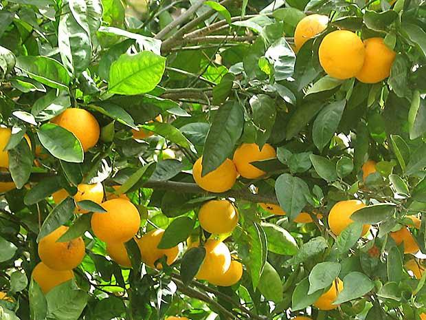 Nispero - Plantas que aguantan temperaturas extremas ...