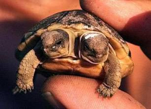 Tortoise With Two Headed in Wellington, South Africa pictures images gallery