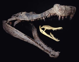Super Crocodile Fossil pics photos gallery