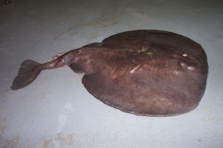 Electric Ray ( Torpedo macneilli ) pics images pictures photos gallery