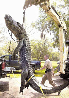Giant Alligator pictures images pic photo gallery