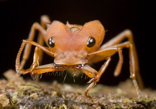 The ant species Daceton armigerum predator pictures images pics photos gallery