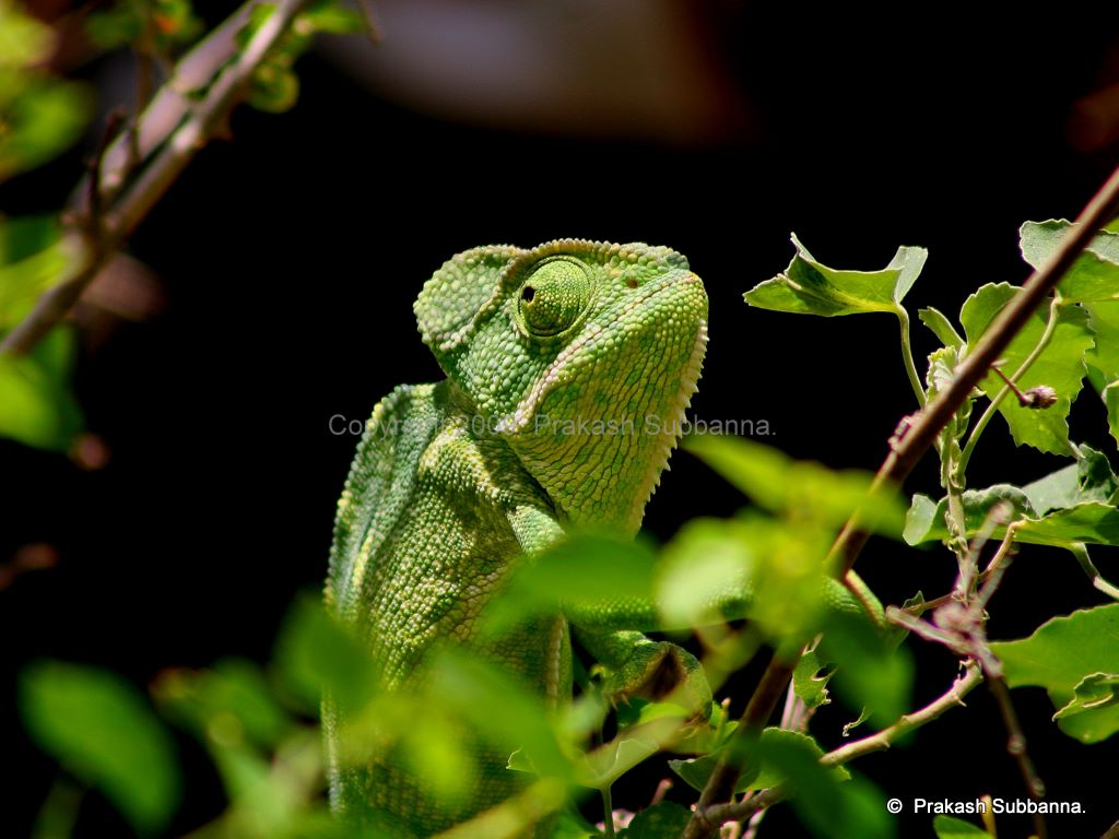 Chameleon Camouflage The chameleon, best in