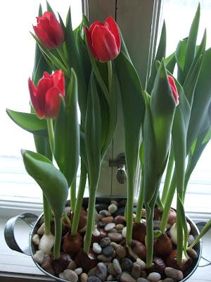 Her har jeg plantet tulipanløk i zinkbalje og lagt noen stener på