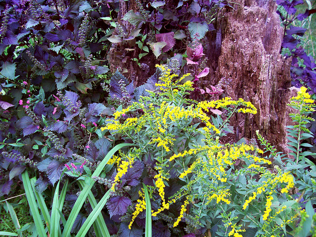This Is The Time Of The Growing Season My Goldenrod Start To Bloom. Iu0027ve  Planted 3 Groups Of These Native Wildflowers Around The Base Of An Old Tree  Trunk, ...