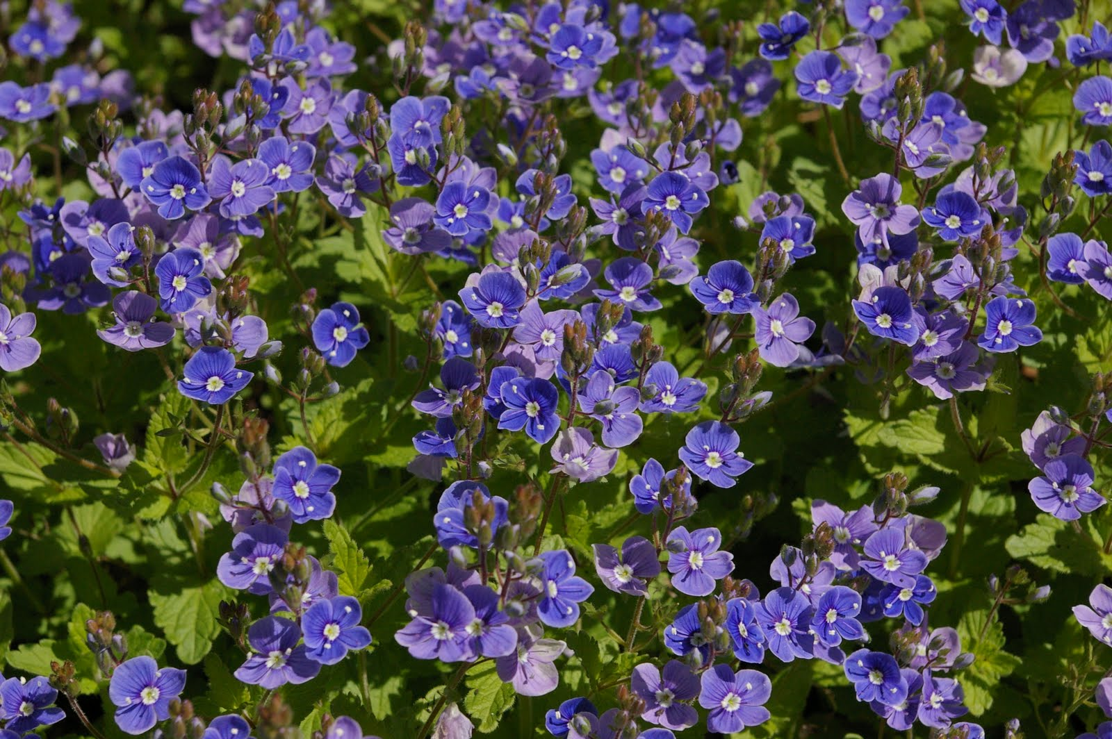 Right Now I Am Enjoying This Beautiful Ground Cover It Has To Be The Sweetest Little Groundcover Ever Is So Blue And There Are Many Shades Of Color