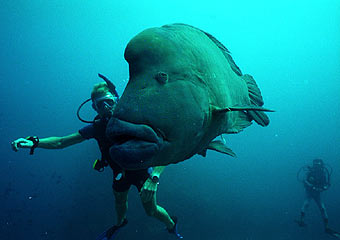 giant manta rays and even a napoleon fish see below
