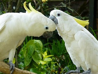 Burung Kakak Tua Jambul Kuning ~ Dunia Tumbuhan dan Hewan