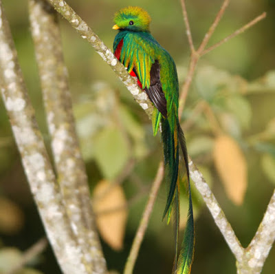 quetzal1 Guatemala Wildlife   10 Things You Must Know About El Quetzal