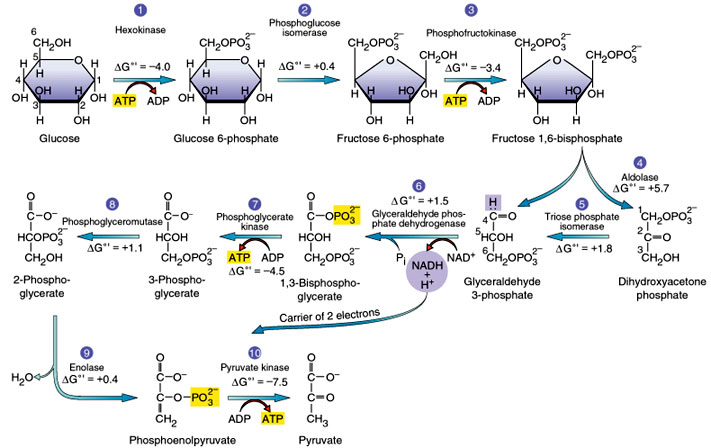 Zane's Blog: glycolysis and gluconeogenesis concept map