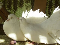 Porumbeii noştri (video)