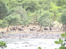 Goat Infestation On Other Side of the Kaveri