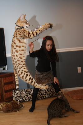 Savannah Cats Pets For Sale