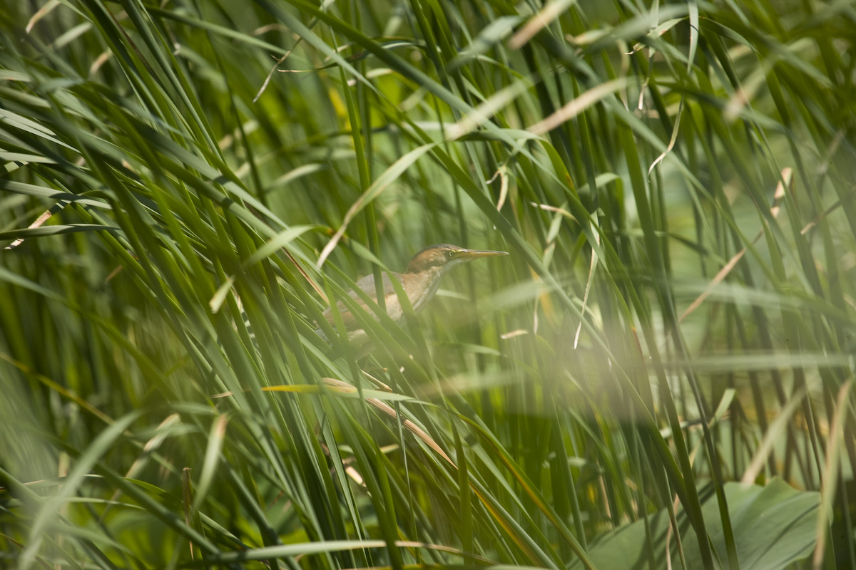 only include this photo to show what an adult bird looks like  since    Least Bittern Baby