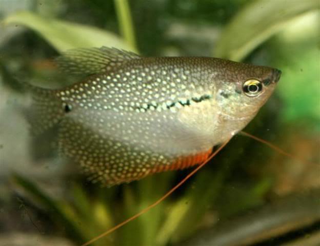 Aqua kingdom: Tips on Pearl Gourami Care and Spawning