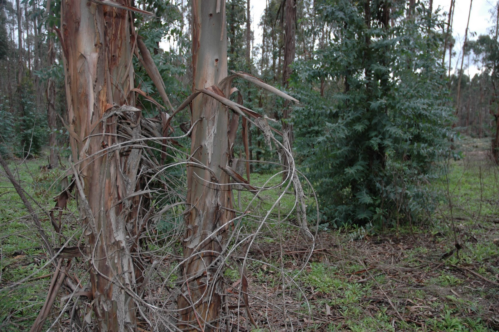 Eucalipto y eucalipteros nuevos usos de la corteza de - Informacion sobre el eucalipto ...