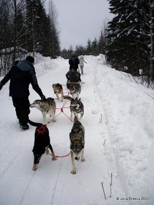 Dogsledding Karelia