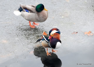 Ducks walking on ice