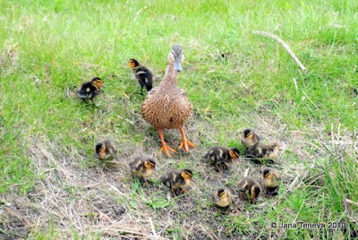 ducklings Holland