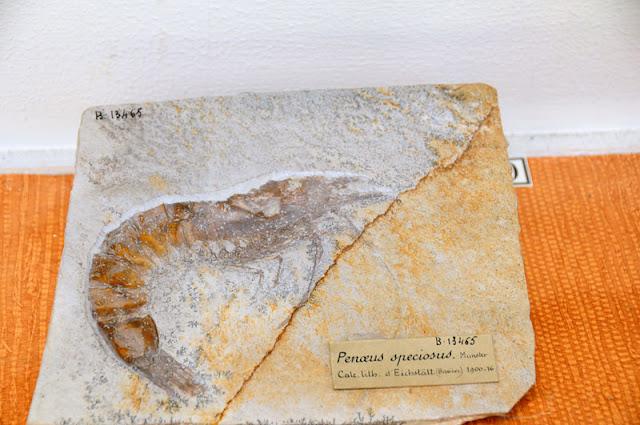 imprint of shrimp in National Museum of Natural History Musée national d'Histoire naturelle Paris