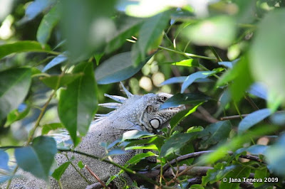 Iguana Les Saintes Guadeloupe