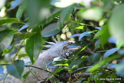Iguana Les Saintes Guadeloupe