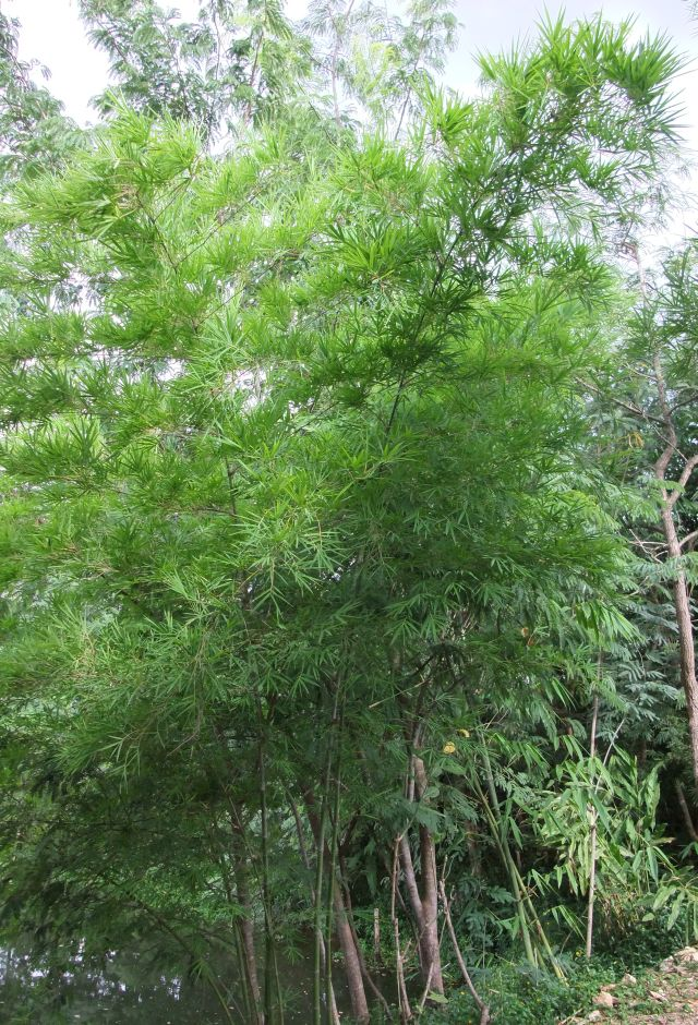 the identification of bambusa sp Distribution and status of bamboos in nepal - keshab shrestha of bamboo plants such as bambusa and dendrocalamus sp as they identification of bamboo.