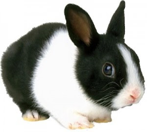 all about rabbits: Rabbits as Pets