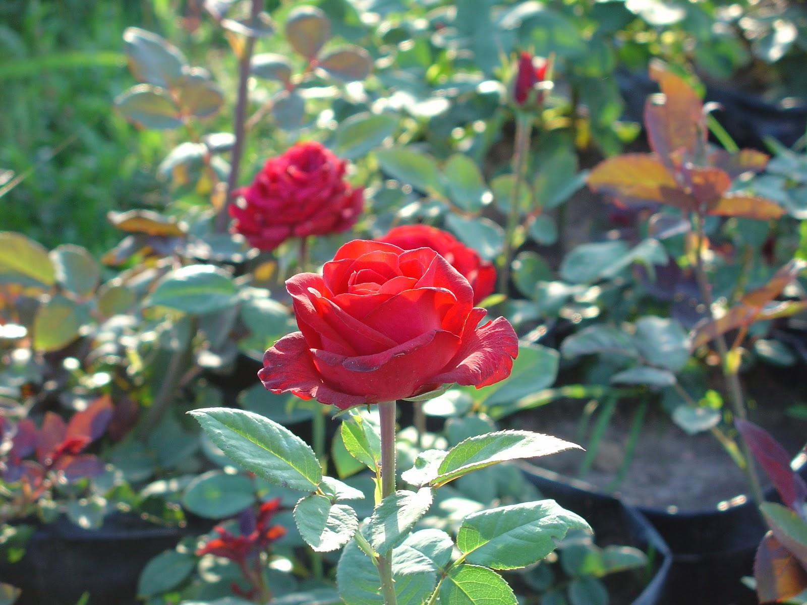 vivero de plantas de rosas jujuy galer a de im genes