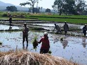 Menanam padi di sawah di Konga