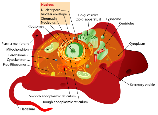 animal cell model with labels. 3d Animal Cell Model With