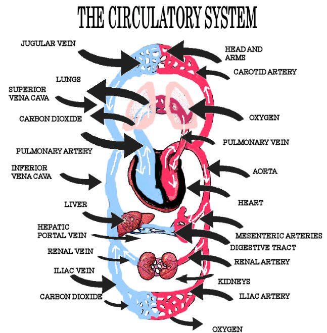 circulatory system heart diagram. circulatory system heart
