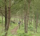 Plantacion de pino
