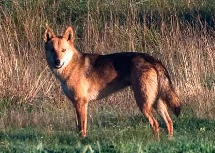 Australian Feral Dogs Field for wild dogs.