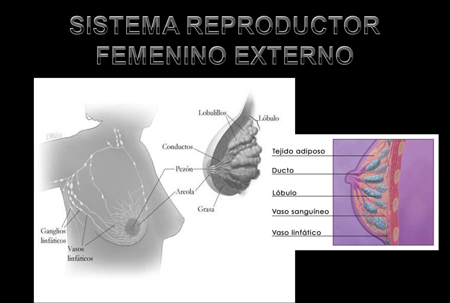 Sistema reproductor masculino y femenino sistema for Interno s