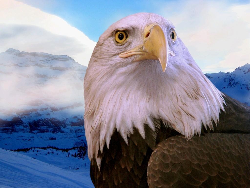 Eagle Wallpaper Download | Free | Download