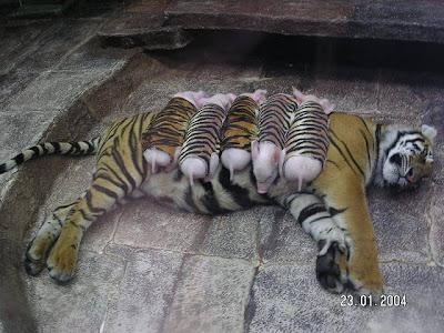 tigresa e seus filhotes