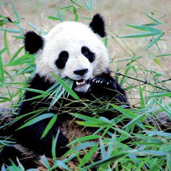 Pics Of Pandas. New Breed of Pandas Helps Save
