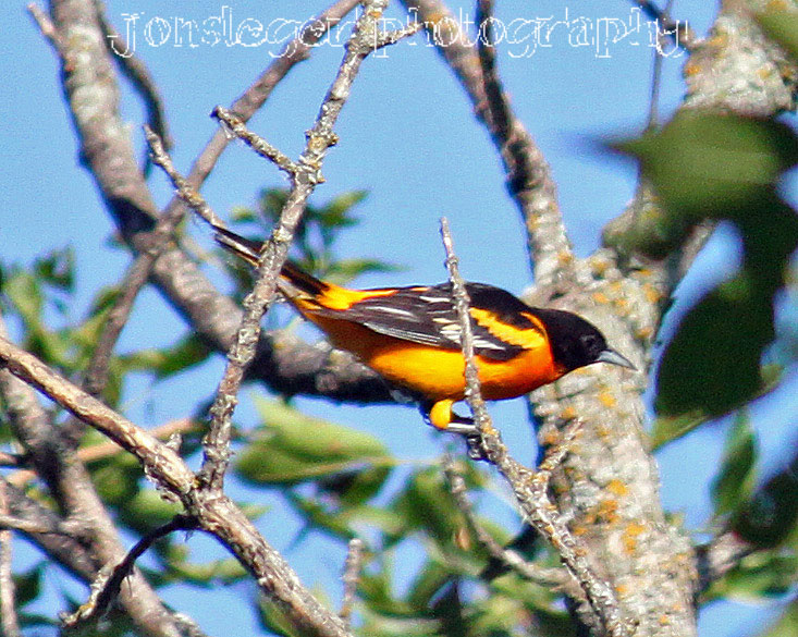 Baltimore Oriole - Animales