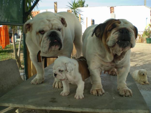 A origem do Bulldog e O Bulldog Baba Muito